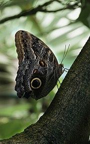 Caligo eurilochus 2 Richard Bartz.jpg