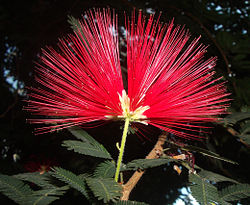 Calliandra tweedi.jpg
