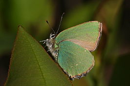 Callophrys rubi-01 (xndr).jpg