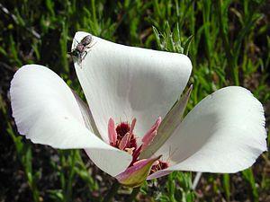Calochortus - Calochortus catalinae