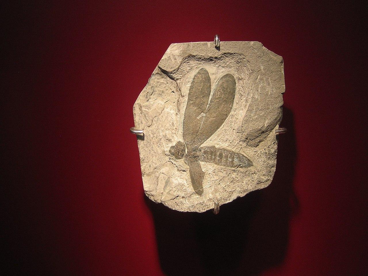Fosili 1280px-Caloneura_dowsoni