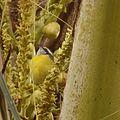 Cambacica gosta muito de flores de Coqueiro da Bahia.jpg