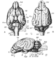 Cambridge Natural History Mammalia Fig 049.png