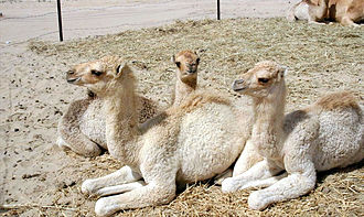 Camel - Domesticated camel calves lying in sternal recumbency, a position that aids heat loss