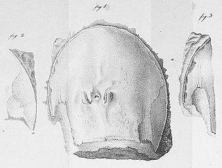 <i>Campylocephalus</i>