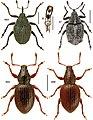 Canadian beetles (10.3897-zookeys.894.37862) Figures 46–48.jpg