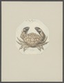 Cancer melissa - - Print - Iconographia Zoologica - Special Collections University of Amsterdam - UBAINV0274 094 14 0038.tif