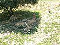 Canis lupus Parc des Loups 002.jpg