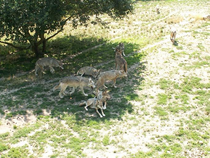 Canis lupus Parc des Loups 002