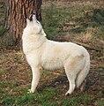 Canis lupus arctos howling.jpg