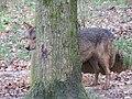 Canis lupus signatus (Kerkrade Zoo) 34.jpg