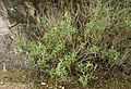 Canyon-Ragweed-c (4644485791).jpg