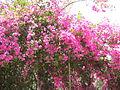 Capernaum pink flowers 0929 (507863825).jpg