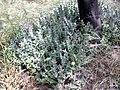 Caralluma decaisneana MS 1079.jpg