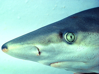 Carcharhiniformes - Groundsharks, like this blacknose shark, have a nictitating membrane which can be drawn over the eye to protect it.