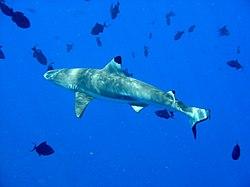 definition of carcharhinus