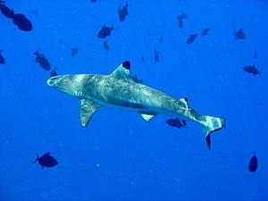 Carcharhinus - Blacktip reef shark (''C. melanopterus'')