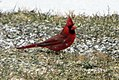 Cardinal in early snow (16366361778).jpg