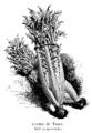 Cardon de Tours Vilmorin-Andrieux 1904.png