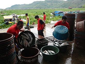 Milkfish - Milkfish aquaculture in fish ponds in Cardona, Rizal, The Philippines.
