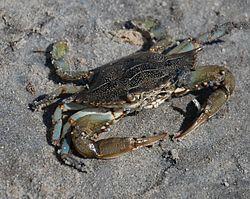 Un crabe bleu, en Caroline du Nord