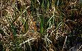 Carex-pendula.JPG