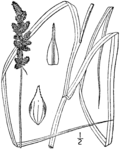 Carex annectens drawing 1.png
