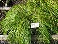 Carex montana - Oslo botanical garden - IMG 8904.jpg