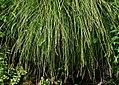 Carex paniculata plant (07).jpg