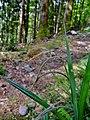 Carex pendula inflorescens (12).jpg