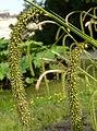 Carex pendula inflorescens (67).jpg