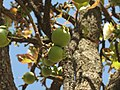 Careya Arborea023.jpg
