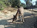 Caring Deer 2.jpg