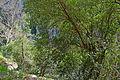 Carob tree - Ceratonia siliqua - Keçiboynuzu.JPG