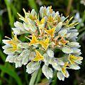 Carolina redroot (Lachnanthes caroliana) (7450499000).jpg