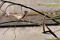 Carpodacus mexicanus -Alviso Marina County Park, California, USA-8.jpg