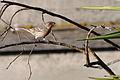 Carpodacus mexicanus -Alviso Marina County Park, California, USA-8.jpg