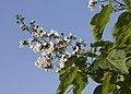 Catalpa bignonioides 10.jpg