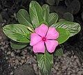 Catharanthus roseus (Madagascar periwinkle) (Sanibel Island, Florida, USA) 1 (24509697394).jpg