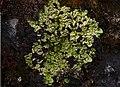Catolechia wahlenbergii (Ach.) Korb.jpg