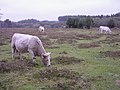 Cattle grazing south of the Deerleap Inclosure, New Forest - geograph.org.uk - 70575.jpg