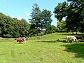 Cattle in sunny pasture - geograph.org.uk - 1456311.jpg