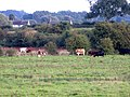 Cattle in the meadow from Wilgay Bridge - August 2012 - panoramio.jpg