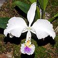 Cattleya trianae Orchi 2013-03-22 066.jpg