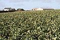 Cauliflower field - geograph.org.uk - 1731534.jpg