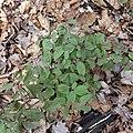 Caulophyllum giganteum SCA-01293.jpg