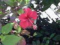 Cayena (Hibiscus rosa-sinensis) 000.jpg