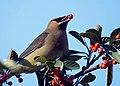 Cedar Waxwing (15548555744).jpg