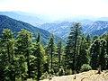 Cedrus deodara Shimla Kufri 1.jpg