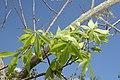 Ceiba speciosa 9zz.jpg